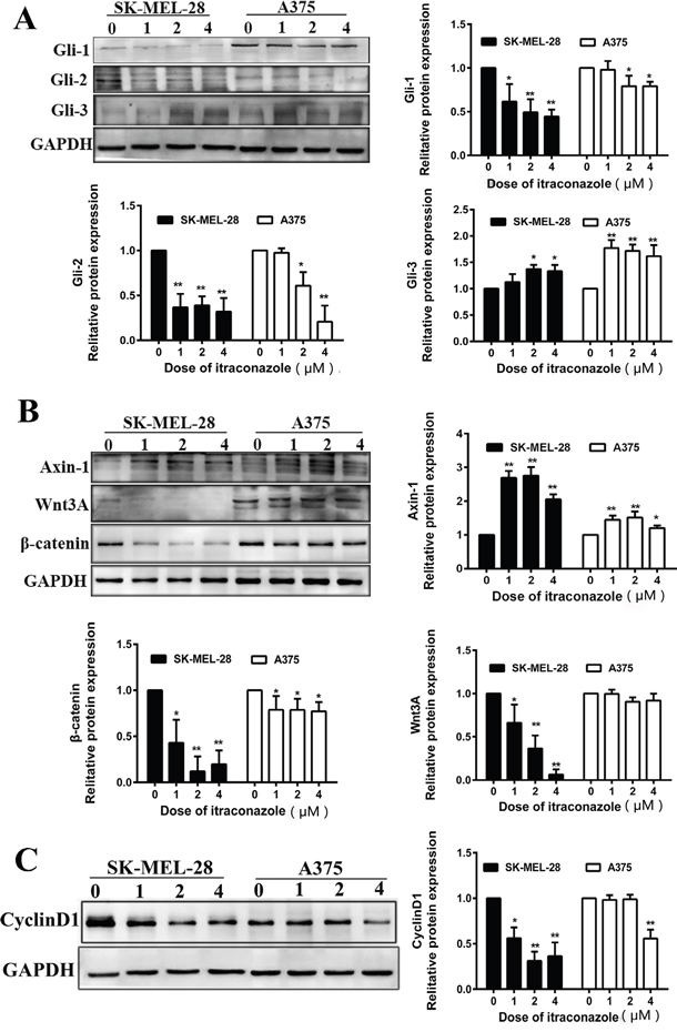 Effect of itraconazole on Wnt/β-catenin, Hedgehog signaling pathway and expression of cyclin D1 in A375 and SK-MEL-28 cells.