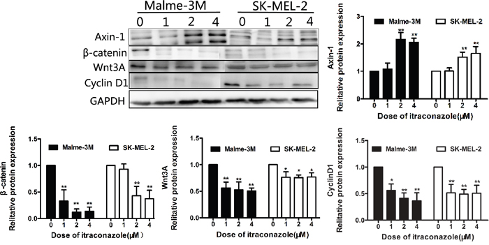 Effect of itraconazole on Wnt/β-catenin and expression of cyclin D1 in SK-MEL-2 and Malme-3M cells.