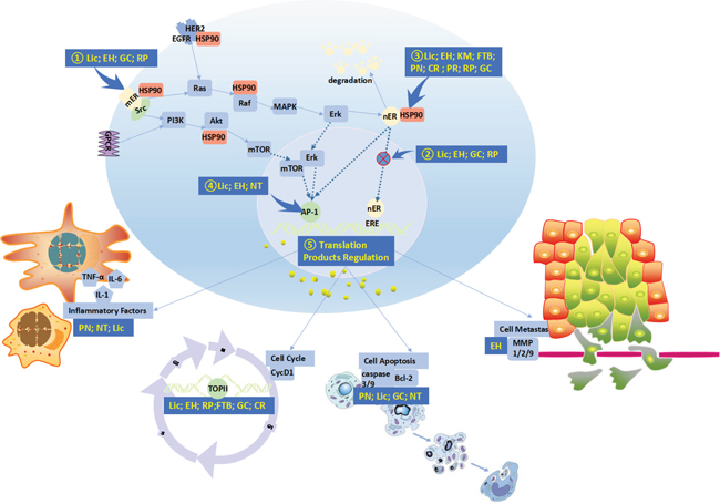 Associated pathways of the 10 Herbs Against Breast Cancer.