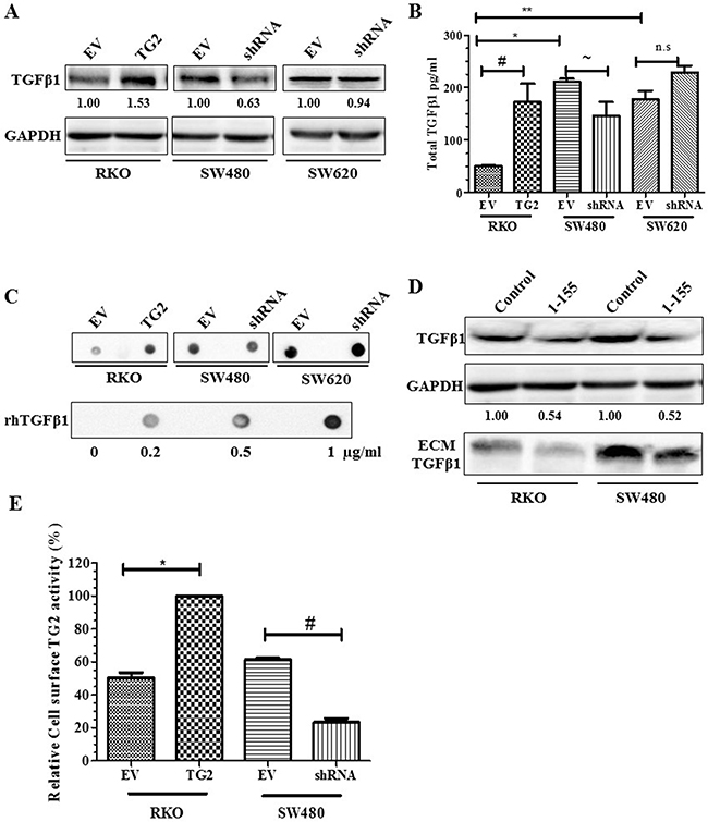 TG2 induces TGFβ1 expression and release into cell culture media.