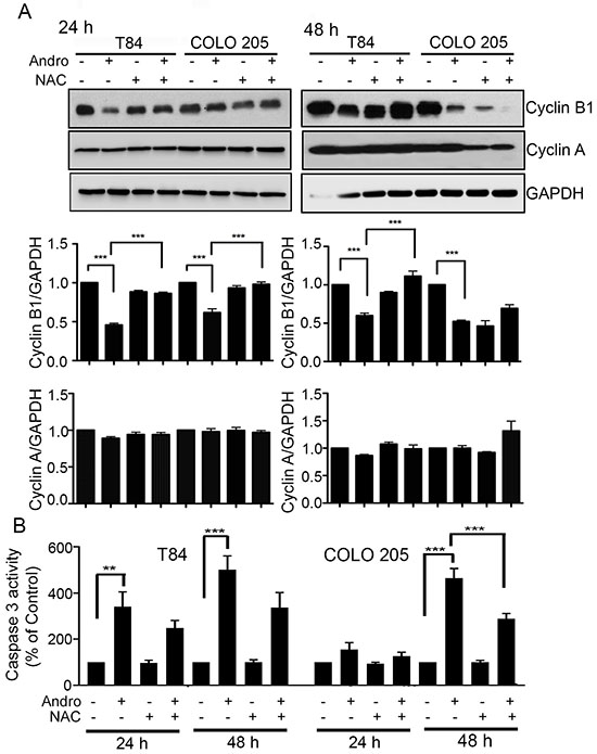 Andrographolide induced cell cycle arrest and apoptosis in colon cancer cells is ROS dependent.