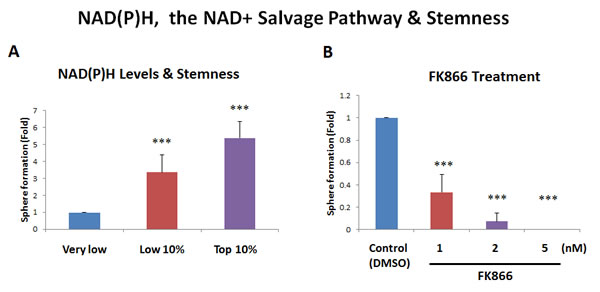 Increased NAD(P)H levels directly correlate with stemness.