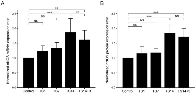 Effects of simulated weightlessness by tail suspension (TS) on neuronal nitric oxide synthase (nNOS) expression.