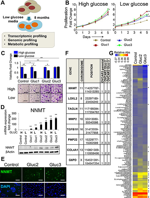 Glucose deprivation induces NNMT expression in OVCAR3 cells.
