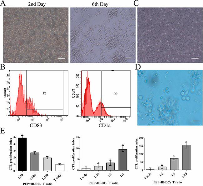 PEPvIII-DCs stimulated T cell proliferation.