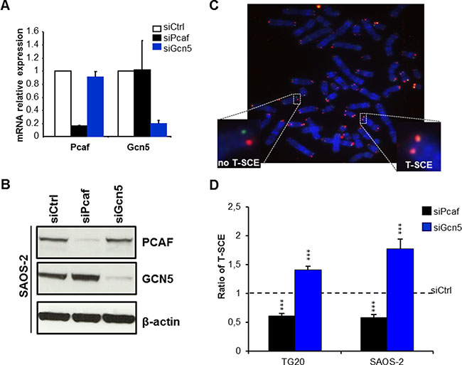 Opposite effects of PCAF and GCN5 down-regulation on telomere sister chromatid exchanges (T-SCEs) in ALT cells.