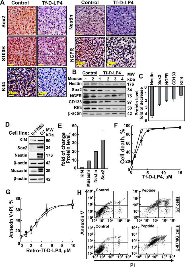 VDAC1-based peptide treatment modifies the expression of GSCs and effectively induces cell death of stem cells cell line G7.