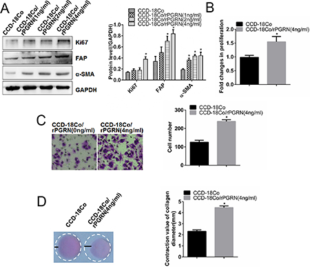rPGRN promoted proliferation, migration and contraction abilities of fibroblasts.