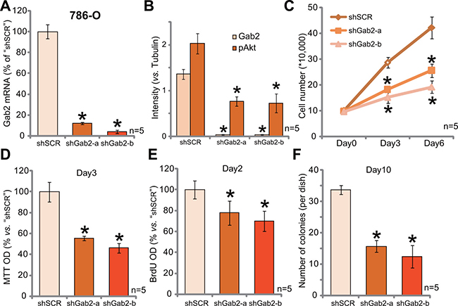 Gab2 shRNA knockdown inhibits Akt activation and 786-O RCC cell proliferation.