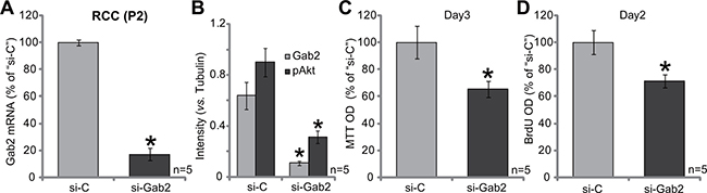 siRNA knockdown of Gab2 inhibits primary RCC cell proliferation.