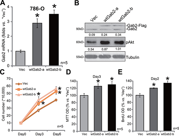 Gab2 over-expression facilitates 786-O cell proliferation.