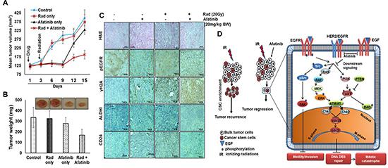 Afatinib radiosensitizes HNSCC tumors in vivo.