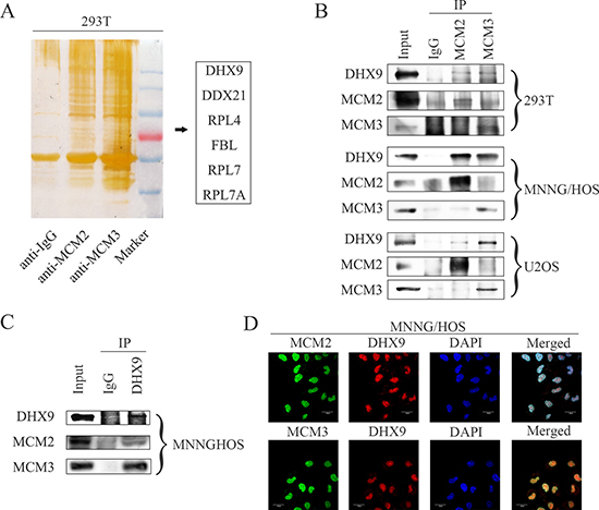 MCM2 and MCM3 interact with DHX9 in osteosarcoma cells.