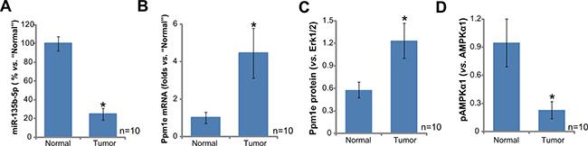 miR-135b-5p upregulation correlates with Ppm1e upregulation and AMPKα1 de-phosphorylation in human osteoblastoma tissues.
