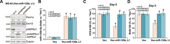 AMPKα1 shRNA knockdown or mutation abolishes miR-135b-5p's actions against osteoblastoma cells.