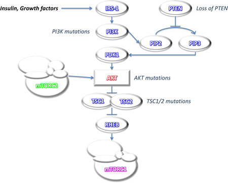 Oncotarget | mTOR pathway in colorectal cancer: an update