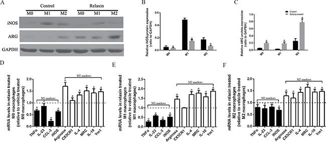 Relaxin shifts macrophage polarization toward the M2 phenotype in vitro.