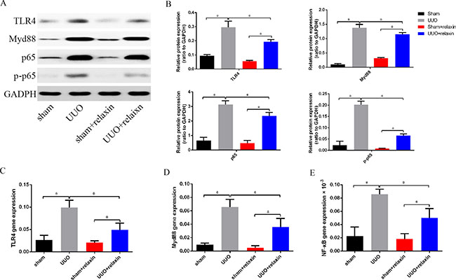 Relaxin downregulates the TLR4-NF-κB signaling pathway in vivo following UUO.