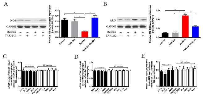 The effects of relaxin on macrophages polarization regulation are blocked by the TLR4 antagonist TAK-242 in vitro.