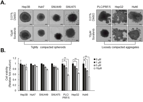 Tightly compacted spheroids show strong resistance to sorafenib compared to loosely compacted aggregates.