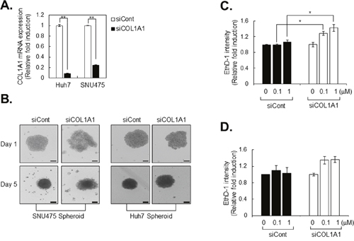 Drug sensitivity is increased in COL1A1 knockdown HCC cell lines.