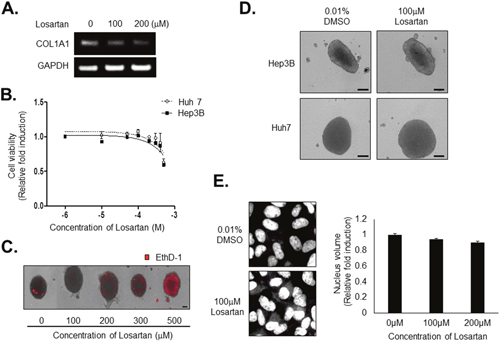 Losartan inhibits COL1A1 synthesis and attenuates the compactness of spheroids without cytotoxicity.