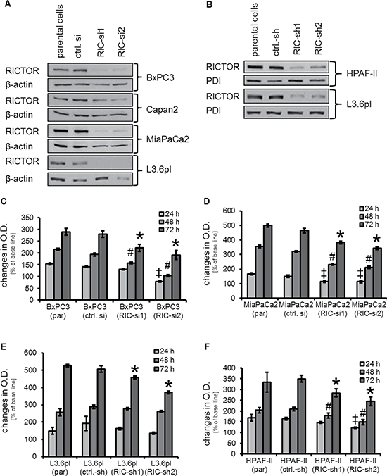 Determination of RICTOR knock-down and its impact on cell growth