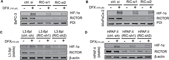 Impact of RICTOR inhibition on HIF-1α expression.