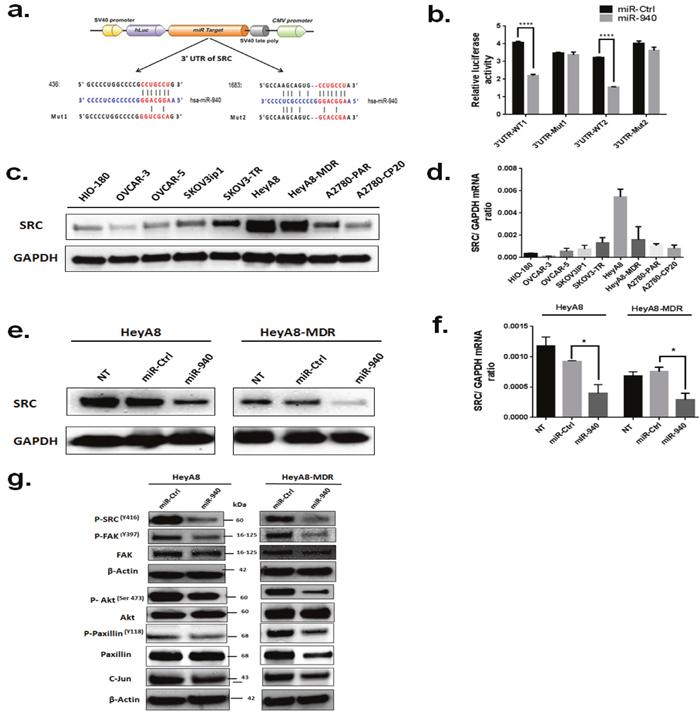 Proto-oncogene SRC kinase is a direct target of miR-940.
