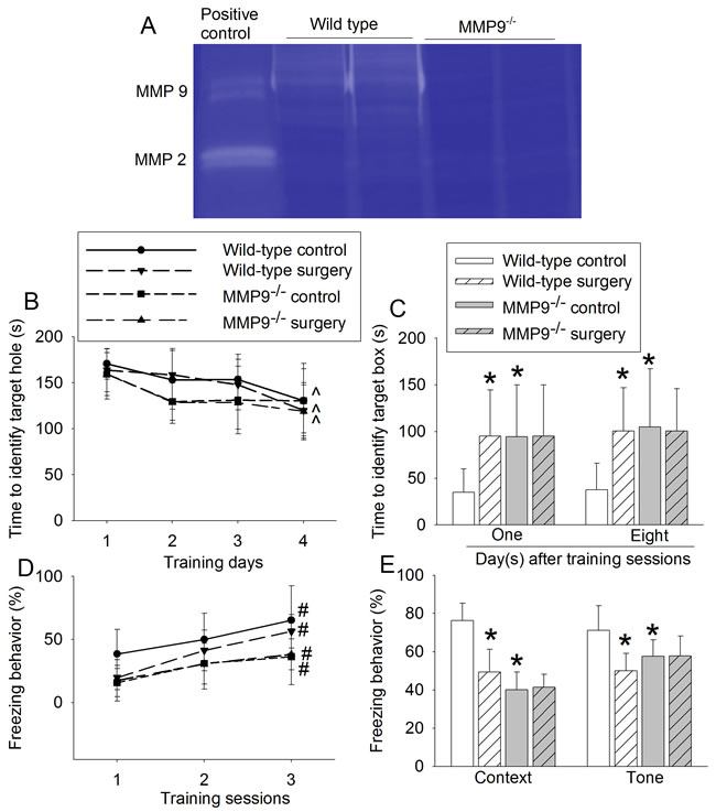 Effects of surgery on learning and memory in wild-type and MMP9