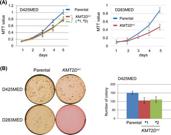 KMT2D deficiency affects proliferation of medulloblastoma cell lines.