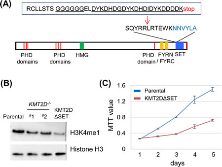 The enzymatic SET domain of KMT2D is required for effective H3K4 monomethylation in vivo.