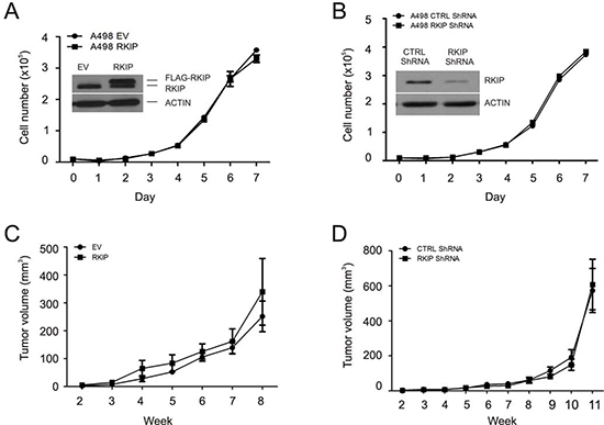 Modulation of RKIP does not affect A498 cell proliferation and neither the cell's ability to form xenograft tumors in NOD/SCID mice.