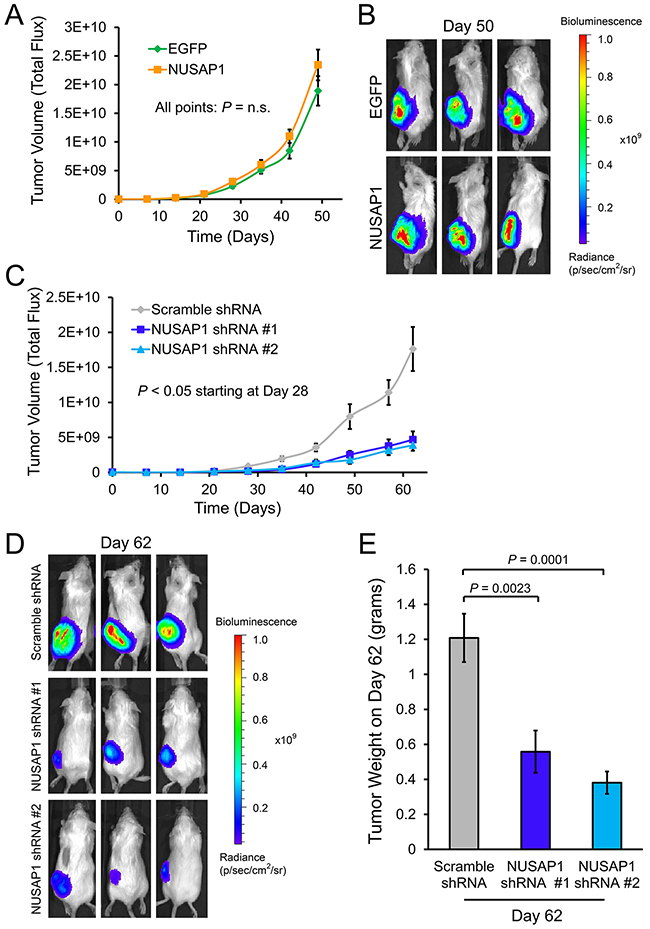 Effects of NUSAP1 overexpression or underexpression on tumor volume as measured by bioluminescence.