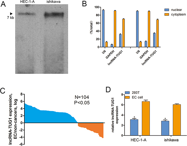 Cellular and molecular characterization of lncRNA-TUG1.