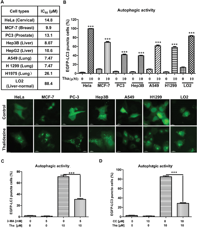 Thalidezine shows specific cancer cells cytotoxicity and induces autophagy.