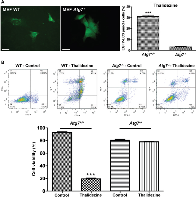 Thalidezine induces autophagic cell death in Atg7-dependent manner.