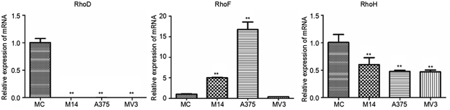Differences in RhoD, RhoF and RhoH transcriptions among 4 types of cells.