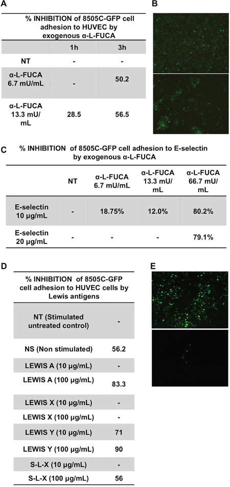 Inhibition of the adhesion to HUVEC cells of 8505C anaplastic thyroid cancer cells by increasing concentrations of bovine α-L-fucosidase A, B.