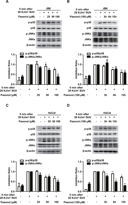 Paeonol down-regulates SUV-induced activation of p38 and JNKs.