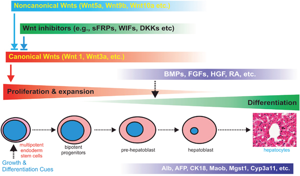 Nonecanonical Wnts modulates canonical Wnt-regulated cell proliferation and differentiation of liver progenitor cells.