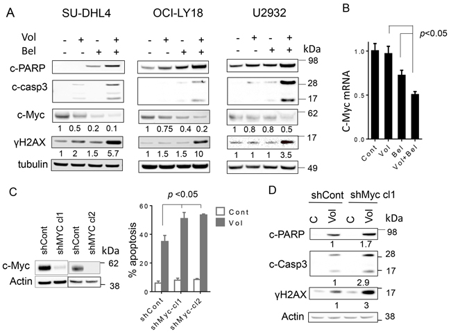 Co-exposure of DLBCL to volasertib and belinostat leads to induction DNA damage, downregulates c-Myc and knocking down of c-Myc potentiates the lethality of volasertib.