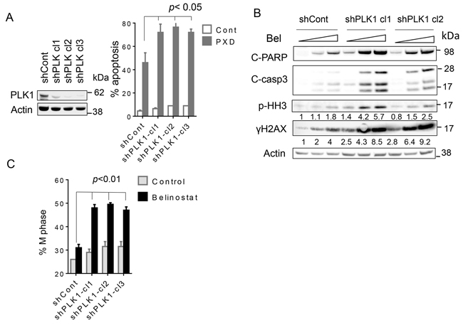 Knockdown of PLK1 strikingly potentiates belinostat-mediated apoptosis in SU-DHL4 cells.