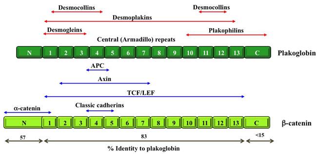 Schematic structure of β-catenin and plakoglobin.