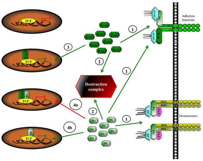 A Potential model of indirect and direct activation of TCF transcriptional activity by plakoglobin.