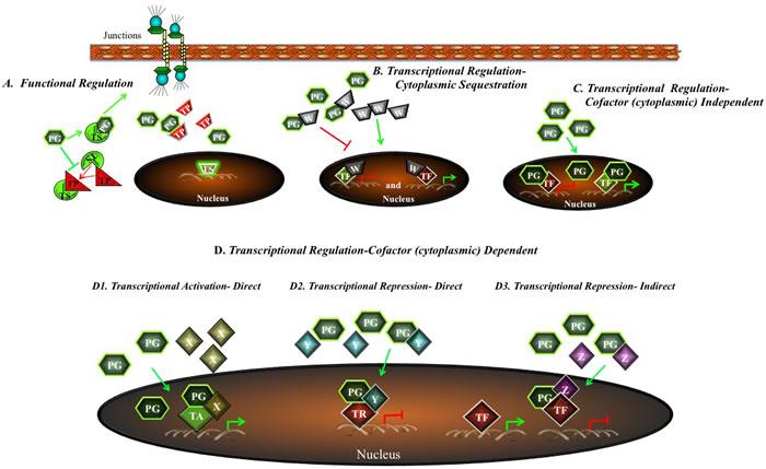 A potential model for regulation of tumorigenesis and metastasis by plakoglobin.