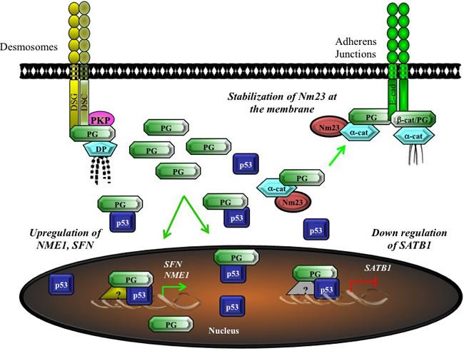 Potential model for the tumor/metastasis suppressor activity of plakoglobin via the regulation of gene expression.