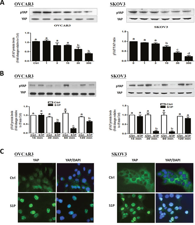 S1P induces a decrease in phosphorylated YAP and a nucleus translocation of YAP in OVCAR3 and SKOV3 cells.