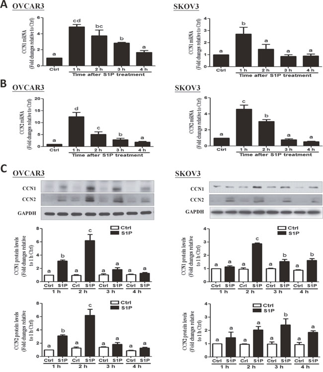 S1P up-regulates the expression of CCN1 and CCN2 in OVCAR3 and SKOV3 cells.