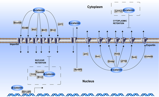 Regulation of β-catenin cytoplasmic–nuclear trafficking.
